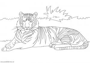 Tiger zum Ausmalen
